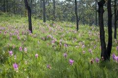Siam Tulip Garden Fotografie Stock Libere da Diritti