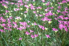 Siam Tulip Garden Stock Foto's