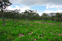 Siam tulip garden,ChaiYaPhoom,Thailand Stock Images