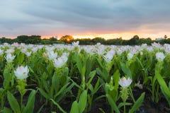 Siam Tulip in the garden before sunset. Siam tulip flowers in Public Park Bangkok, Sunset Stock Photos