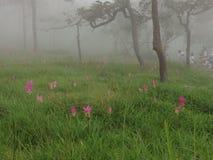 Siam tulip Stock Photography