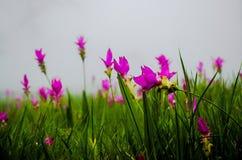 Siam Tulip-gebied stock foto