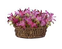 Siam Tulip im Korb Lizenzfreies Stockfoto