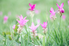 Siam tulip or Krajeaw Flowers at Chaiyaphum Royalty Free Stock Photography