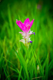 Siam Tulip in national park of Thailand Royalty Free Stock Photos
