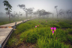 Siam Tulip- oder Krajeaw-Blume auf dem Gebiet Lizenzfreie Stockfotografie