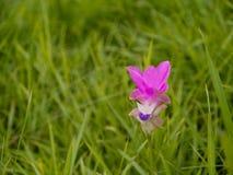Siam Tulip Royalty Free Stock Photos