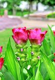 Siam tulip pink Royalty Free Stock Image