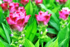 Siam tulip pink Royalty Free Stock Photography