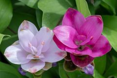 Siam Tulip pourpre photo stock