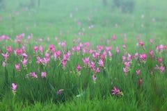 Siam tulip. In Saithong national park stock images