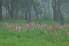Siam tulip. In Saithong national park stock image