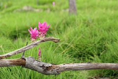 Siam tulip, Summer tulip, Curcuma flower, couple of pink flowers Stock Photo