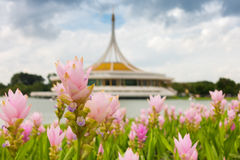 Siam tulip on the Thai architectural museum background, Garden flower. Royalty Free Stock Photo