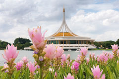 Siam tulip on the Thai architectural museum background, Public park. Royalty Free Stock Image