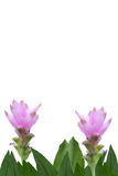 siam tulipan Zdjęcia Royalty Free