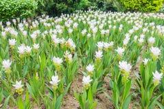 Siam tulipan Zdjęcie Royalty Free
