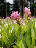 Siam tulipan Obrazy Stock