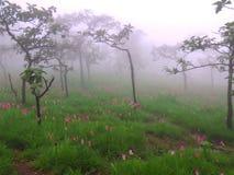 Siam Tulipanowy kwiat Zdjęcie Stock