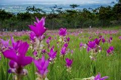 Siam tulipKrachai flower Royalty Free Stock Photos