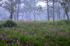 Siam tulipKrachai flower Royalty Free Stock Image