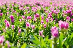 Siam Tulips Stockbilder