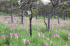 Siam tulips (Curcuma alismatifolia) Royalty Free Stock Photo