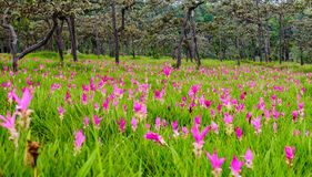 Siam tulips. Curcuma alismatifolia blooming in the jungle at Chaiyaphum province, Thailand Royalty Free Stock Photos
