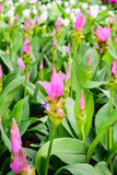 Siam tulips. Curcuma alismatifolia blooming in the jungle at Chaiyaphum province, Thailand Stock Photos