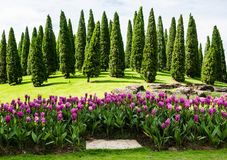 Siam tulips or curcuma flower blossom with pine tree background. Siam tulips or curcuma flower blossom with pine tree background in the garden Stock Photography