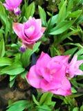 Siam Tulips en el fondo verde, campo hermoso de la flor foto de archivo
