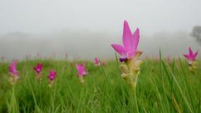 Siam Tulips fält Fotografering för Bildbyråer