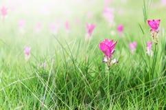 Siam tulips field, Curcuma alismatifolia flower blooming. Stock Photo