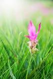 Siam tulips flower, Curcuma alismatifolia flower blooming. Royalty Free Stock Image