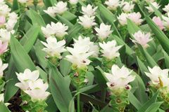 Siam tulips flowers Krachiao or Pathumma blooming in the garden.  Stock Photo