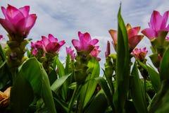 Siam tulips flowers Stock Image