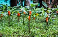 Siam-tulipsCurcuma alismatifolia mit den großen hellen orangefarbenen Blumenblättern am Naturparkbürobereich von Namtok Pha Charo Lizenzfreie Stockfotos
