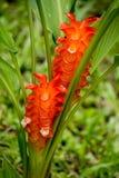 Siam-tulipsCurcuma alismatifolia mit den großen hellen orangefarbenen Blumenblättern am Naturparkbürobereich von Namtok Pha Charo Stockfotos