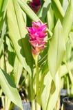 Siam tulpan eller Curcumablomma Arkivbild