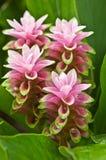 Siam-Tulpe Stockfotografie