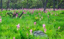 Siam-Tulpe Stockbilder