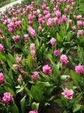 Siam-Tulpe blüht rosa Farbe am Park Stockbild