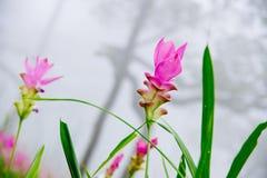 Siam-Tulpe im grünen Garten Stockbilder