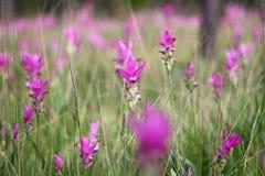 Siam-Tulpe ist ein tropische Betriebseingeborenes zu Nord Stockfotos