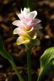 Siam-Tulpe am königlichen Blumen-chiangmai Thailand Stockfotos
