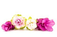 Siam-Tulpe oder Kurkumablume Stockfotografie