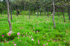 Siam-Tulpen, die im Park blühen Stockbild