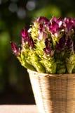 Siam-Tulpen, die voll im Dschungel in Thailand im Korb von frischem blühen Stockfotos