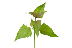 Siam weed Stock Images