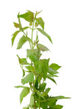 Siam weed Royalty Free Stock Photos